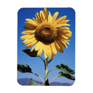 California, A Mammoth Sunflower (Helianthus) 3 Magnet