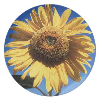 California, A Mammoth Sunflower (Helianthus) 3 Melamine Plate