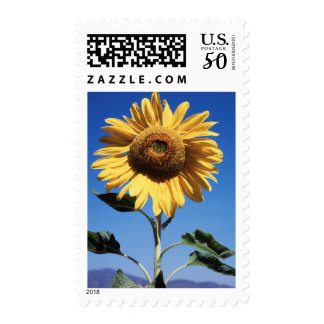 California, A Mammoth Sunflower (Helianthus) 3 Postage