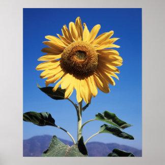 California, A Mammoth Sunflower (Helianthus) 3 Poster