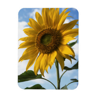 California, A Mammoth Sunflower (Helianthus) 4 Magnet