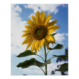 California, A Mammoth Sunflower (Helianthus) 4 Poster