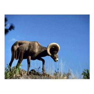 California bighorn sheep (Ram moves across high ri Postcard