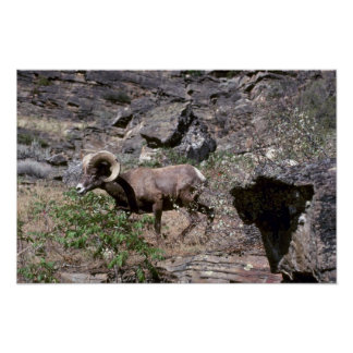 California bighorn sheep (Young adult ram) Poster