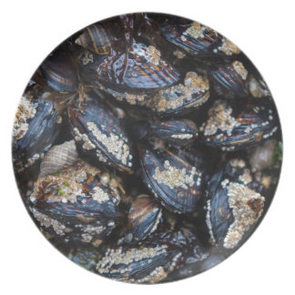 California Blue Mussels growing on rock in Bandon Dinner Plates