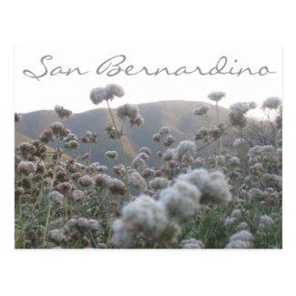 California Buckwheat Post Card