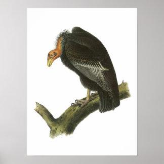 California Condor by Audubon Poster