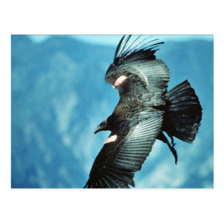 California condor postcards