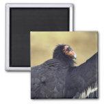 California condor refrigerator magnet