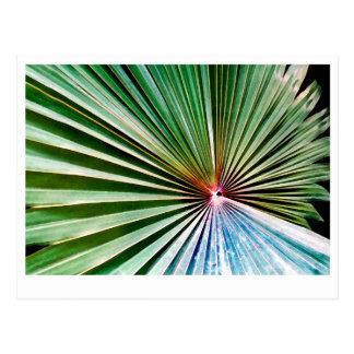 California Fan Palm Postcard