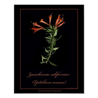 California Fuschia Botanical Art Print