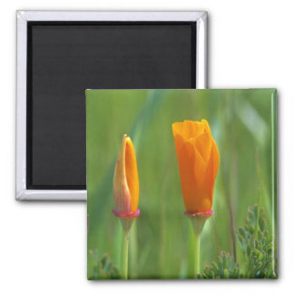 California golden poppies in a green field 2 magnet
