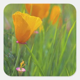 California golden poppies in a green field square sticker