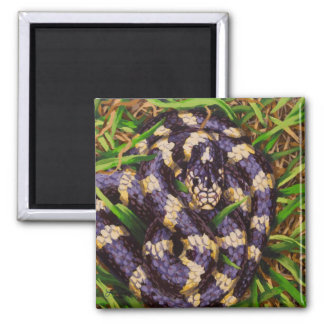 California Kingsnake Magnet