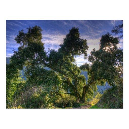 California Live Oak Postcards
