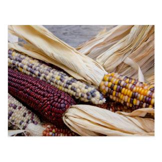 California. Maíz indio colorido de la cosecha de Tarjetas Postales