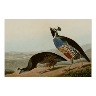 California Partridge Poster