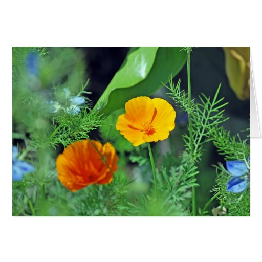 California Poppies Cards