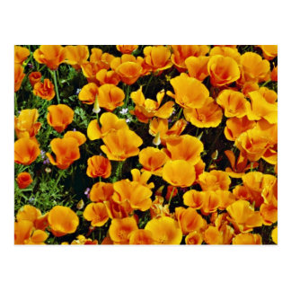 California poppies in bloom, Lancaster, California Post Cards