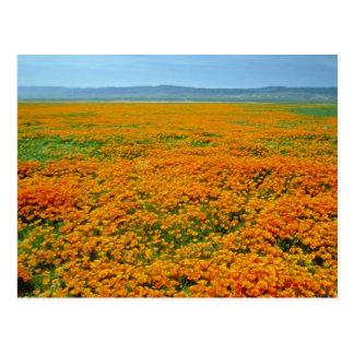 California poppies in full bloom flowers postcard