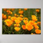 California poppies, Montana de Oro State Park Posters
