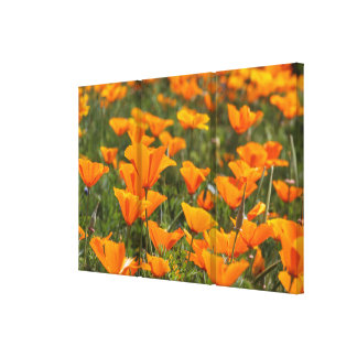 California Poppies Triptych Canvas