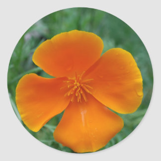 California Poppy Classic Round Sticker
