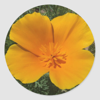 California poppy classic round sticker