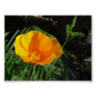 California Poppy (Eschscholzia Californica) Poster