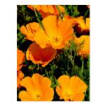 """California Poppy"" Post Card"