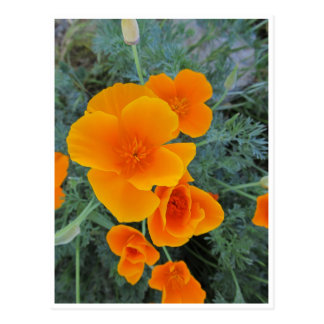 California Poppy Post Card