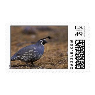 California Quail Postage Stamps