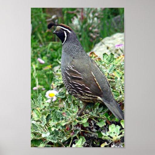 California quail poster