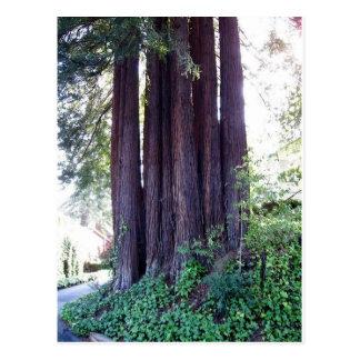 California Red....woods Postcard
