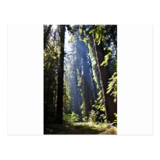 California Redwoods Postcard