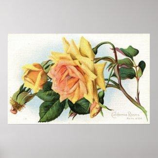 California Roses c1915 Vintage print