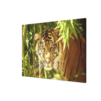 California, San Francisco Zoo, Sumatran Tiger Canvas Print
