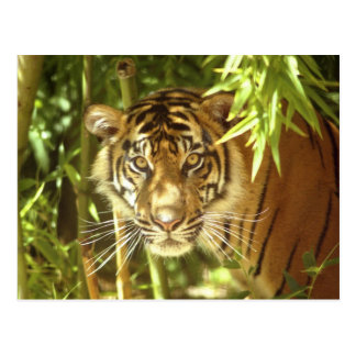 California, San Francisco Zoo, Sumatran Tiger Postcard