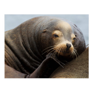 California Sea Lion Resting Postcard