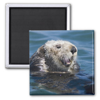 California Sea Otter Enhydra lutris) grooms 2 2 Inch Square Magnet