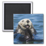 California Sea Otter Enhydra lutris) grooms 2 Inch Square Magnet