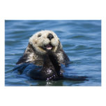 California Sea Otter Enhydra lutris) grooms 2 Photo Print
