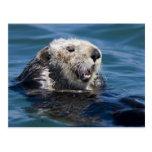 California Sea Otter Enhydra lutris) grooms 2 Postcard