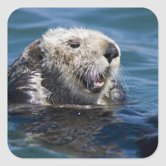California Sea Otter Enhydra lutris) grooms 2 Square Sticker