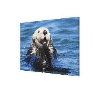 California Sea Otter Enhydra lutris) grooms Canvas Print