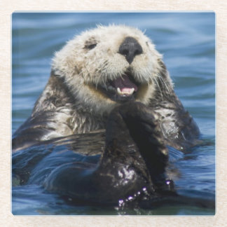 California Sea Otter Enhydra lutris) grooms Glass Coaster
