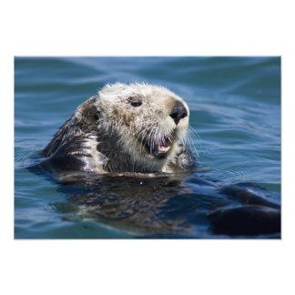 California Sea Otter Enhydra lutris) grooms Photo Print
