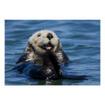 California Sea Otter Enhydra lutris) grooms Poster