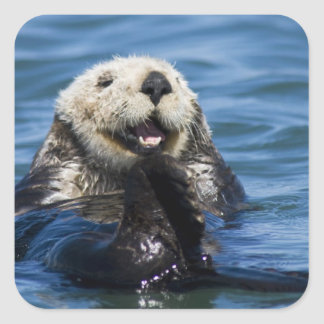 California Sea Otter Enhydra lutris) grooms Square Sticker