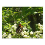 California Sister Butterfly Nature Photography Photo Print